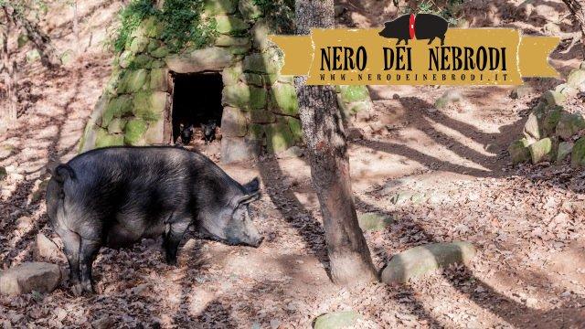 Élevage de porcs noirs dans les Monts Nebrodi en Sicile